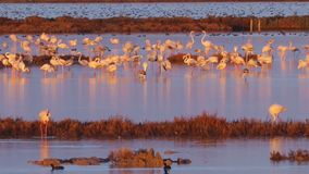 Flamingos group at Ebro Delta Natural Park. African birds. Sunset part of day stock video
