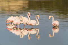 Flamingos. A group of flamingo in Olbia`s gulf Stock Image