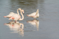 Flamingos. A group of flamingo in Olbia`s gulf Stock Images