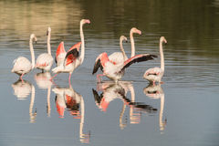 Flamingos. A group of flamingo in Olbia`s gulf Royalty Free Stock Photography