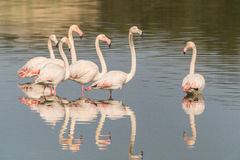 Flamingos. A group of flamingo in Olbia`s gulf Royalty Free Stock Images