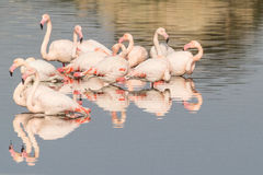 Flamingos. A group of flamingo in Olbia`s gulf Royalty Free Stock Image