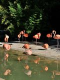 Flamingos. A group of flamngos in the London zoo Stock Images
