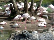 Flamingos Royalty Free Stock Photography