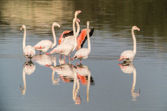 Flamingos. A group of flamingos in Olbia`s gulf Royalty Free Stock Images
