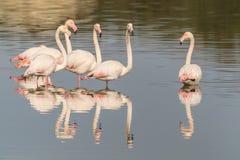 Flamingos. A group of flamingos in Olbia`s gulf Stock Photos