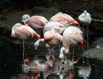 Flamingos in a Group. Pink Flamingos enjoy the water and while showing off their dazzling plumage Stock Photos