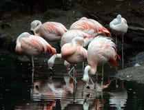 Flamingos in a Group Stock Photos