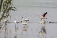 Flamingos. Group of pink flamingos on the lake Royalty Free Stock Image