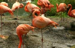 Flamingos. Stock Photos