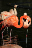 Flamingos Royalty Free Stock Photography