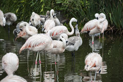 Flamingos have arrived in San Climente, Argentina Royalty Free Stock Photos