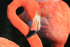 Flamingos head in profile Royalty Free Stock Photos