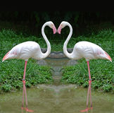 Flamingos in heart shape Stock Photos