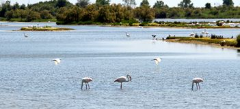 Flamingos and herons with many waterfowl in the po Stock Image