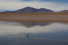 Flamingos at the highlands. Flamingos in the Andean highlands in Bolivia Royalty Free Stock Images