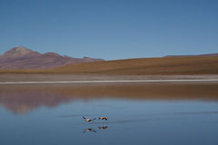 Flamingos at the highlands. Flamingos in the Andean highlands in Bolivia Stock Images