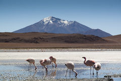 Flamingos at the highlands. Flamingos in the Andean highlands in Bolivia Royalty Free Stock Photography
