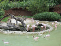Flamingos at the Honolulu Zoo Royalty Free Stock Photography