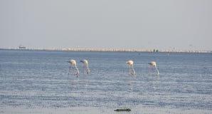 Flamingos hunting at beach. And eating Royalty Free Stock Images