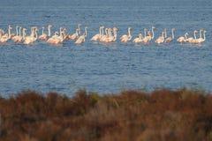 Flamingos i den Ebro deltan Arkivfoton