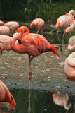 Flamingos i zoo Royaltyfria Bilder