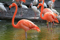 Flamingos and ibises by lake Stock Photo