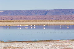 Flamingos im Los-Flamenco-national Reserve stockfoto