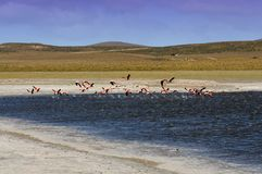 Flamingos im Patagonia, Argentinien Stockbilder