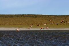 Flamingos im Patagonia, Argentinien lizenzfreie stockfotos
