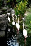 Flamingos im Teich am Zoo lizenzfreie stockfotos