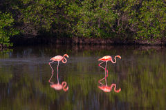 Flamingos im Wasser in Kuba Lizenzfreie Stockfotografie