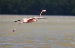 Flamingos In Water Royalty Free Stock Images