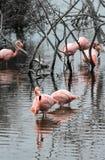 Flamingos, Isabella island, Galapagos Archipelago Stock Images