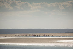Flamingos at the islands near Tofo Royalty Free Stock Images