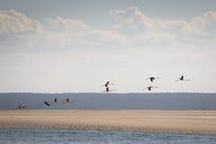 Flamingos at the islands near Tofo Stock Photo
