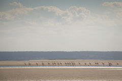 Flamingos at the islands near Tofo Royalty Free Stock Photo