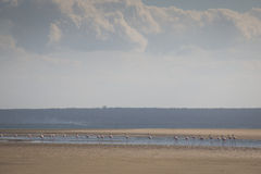 Flamingos at the islands near Tofo Stock Images