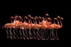 Flamingos isolated on black Stock Photo