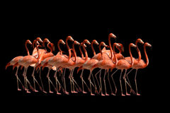 Free Flamingos Isolated On Black Stock Photo - 20123850