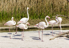 Flamingos in italy Stock Photography