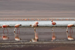 Flamingos. James's Flamingo (Phoenicoparrus jamesi) is also known as the Puna Flamingo. Named for Harry Berkeley James, it populates the high altitudes of Andean Royalty Free Stock Images