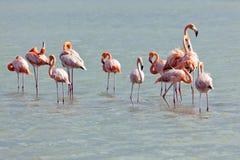 Flamingos at Jan Kok, Curacao. Flock of Flamingos at Jan Kok salt lake Stock Images
