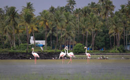 Flamingos in kerala Stock Photo