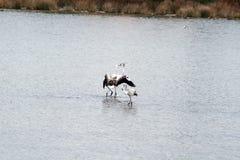 Flamingos kiss Royalty Free Stock Photography