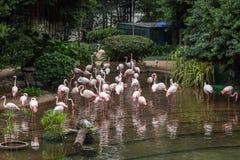 Flamingos at the Kowloon Park in Hong Kong Royalty Free Stock Photo