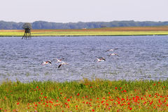 Flamingos in La mancha lakes Royalty Free Stock Photography