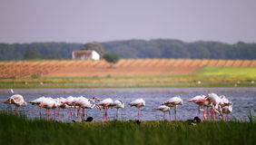 Flamingos in La mancha lakes Stock Photo