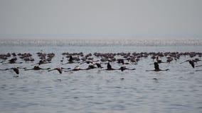 Flamingos, lago Natron, Tanzânia foto de stock royalty free