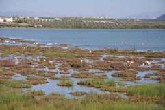 Flamingos on lagoon, Andalusia, Spain. Stock Images